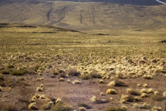 High altitude grass plains of the Andes, Atacama Desert