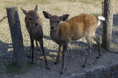 The infamous bowing deer of Nara Park