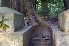 A deer chilling along the path to Kasuga-taisha Shrine, Nara Park