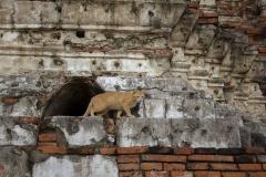 A cat emerges from the ruins of Wat Chaiwatthanaram, Ayutthaya, Thailand