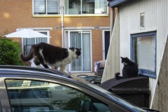 Cats chilling on a car and houseboat, Jordaan, Amsterdam